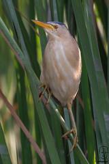 Avetorillo común (Ixobrychus minutus). (jolunepa) Tags: fauna fotografia hidrohide avetorillo aves wildlifephotography naturaleza nikond7200