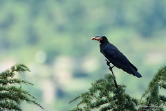Scavenging Raven (PB2_3236) (Param-Roving-Photog) Tags: commonraven crow himalayan bird wildlife scavenged meal meat trees nature chail himachal birdphotography wildlifephotographer birding birdlove