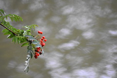 Berries by the Leeds Liverpool canal (stevencarruthers93) Tags: wildlife nature outdoors autumnwatch springwatch lancashire nikon nikonphotography wildlifephotography naturephotography greenheart wigan wiganflashes