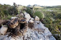 MEXICAN BLACKTAIL - SLP (Evan Arambul) Tags: rattlesnake rattlesnakes vipers pitviper venomous mexican mexico mx wildlife wild sanluispotosi crotalus molossus nigrescens