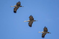 Sandhill crane (Antigone canadensis) (octothorpe enthusiast) Tags: cranberryflats meewasin saskatoon antigonecanadensis sandhillcrane