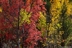 Autumn Mosaic (walkerross42) Tags: trees pine evergreen aspen maple red yellow stcharlescanyon idaho autumn fallcolor