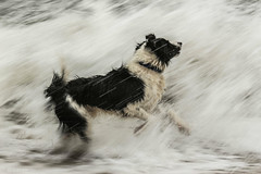 Dodge-ing the Waves! (sharongellyroo) Tags: dodge bordercollie beach waves sea seaside wintertononsea rescue norfolk