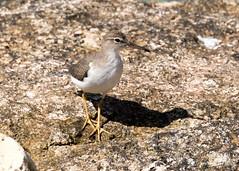 Spotted Sandpiper (Tony CC Gray) Tags: spottedsandpiper birds tonygray canon floridakeys bahiahondastatepark