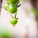 Cherry Tomato thumbnail