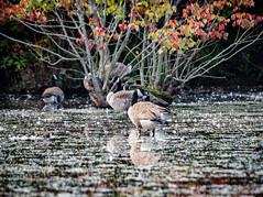 ChambersLake-2018-4 (bgdesign2016) Tags: geese fall color