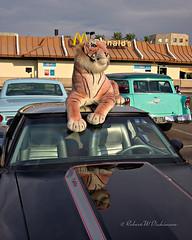 Cat on a 'Vette at Pavilions Car Show (eoscatchlight) Tags: pavilionscarshow scottsdale arizona chevy chevrolet corvette chevycorvette chevroletcorvette