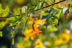 Blätter der Sumpf Eiche (KaAuenwasser83) Tags: sumpfeiche laub eiche blätter ast zeig herbst orange gelb grün sonne