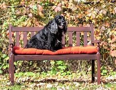 10/12 - Sammy 2018 (conniegavin12) Tags: 12monthsfordogs18 fieldspaniel spaniel dog pet fall bench