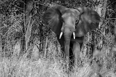Elephant in Luambe Natl. Park, Zambia (sharon.verkuilen) Tags: africa zambia luambe safari elephant luambecamp blackwhite sonya7rii