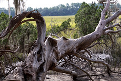 Fallen (Irina1010) Tags: tree fallen torsioned fibers textures nature wood canon savannah wormsloe twisted outstandingromanianphotographers coth coth5 ngc npc
