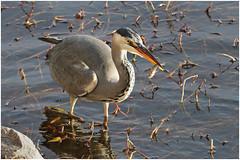 Grey heron with perch - Fiskehejre med aborre (www.nielsdejgaard.dk) Tags: fiskehejre heron greyheron damhussøen fugl bird fisk fish aborre perch