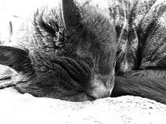 Sleeping Beauty AKA Argent (sjrankin) Tags: 14october2018 edited animal cat floor livingroom kitahiroshima hokkaido japan grayscale closeup argent sleep tunic couch