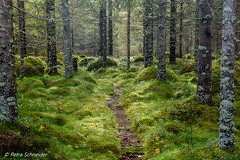 Beautiful Norwegian forest (Petra Schneider photography) Tags: forest forestpath norge norway nordnorwegen nordland green moss