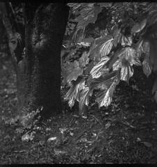 bright, shiny leaves, split tree trunk, yard, Asheville, NC, Flektar TLR, Arista.Edu 200, Ilford Ilfosol 3 developer, 10.12.18 (steve aimone) Tags: leaves shiny treetrunk treetrunks yard asheville northcarolina flektar flektar75mmf35 tlr twinlensreflex aristaedu200 ilfordilfosol3developer 6x6 120 120film film mediumformat monochrome monochromatic blackandwhite