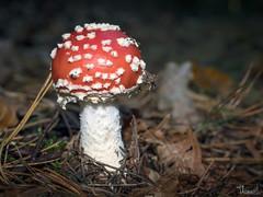 fly agaric (Thomas Heuck) Tags: pilz mushroom wald forest greifswald herbst autumn olympus em1markii makro macro natur nature