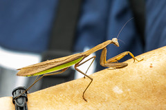 7K8A8275 (rpealit) Tags: chinese mantid scenery wildlife nature state line lookout
