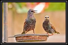 """Starlings Startled..."" (NikonShutterBug1) Tags: nikond7100 tamron18400mm birds ornithology wildlife nature spe smartphotoeditor birdfeedingstation bokeh wings starling birdsfeeding"