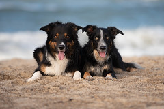 42/52 Frisbee - Best friends (Helle Lindholm Larsen) Tags: dog bordercollie 52weekesfordogs beach yatzy outdoor frisbee