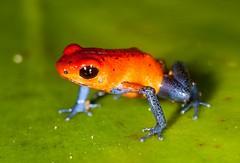 Strawberry Poison Dart Frog (katalaynet) Tags: follow happy me fun photooftheday beautiful love friends