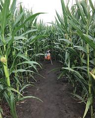 016 The Corn Closes In (saschmitz_earthlink_net) Tags: 2018 california temecula bighorsefeedandmercantile cornmaze orienteering laoc losangelesorienteeringclub corn