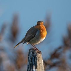 DSC_3730.jpg (dan.bailey1000) Tags: bird ireland wildlife westcork warrenbeach robin