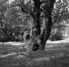 old one (salparadise666) Tags: zeiss ikon super ikonta b tessar 80mm fomapan 100 boxspeed caffenol rs 15min nils volkmer vintage medium format folding analogue film camera square 6x6 landscape france ardeche bw black white monochrome