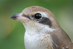 Close-up on Brown Shrike (BP Chua) Tags: nature wild wildlife animal bird beak closeup face feather details nikon d850 600mm bidadari singapore