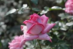 DSCF2157 (Kotaro_Nakagawa) Tags: fujifilm x xe1 xc1650 flower silkypix rose 薔薇