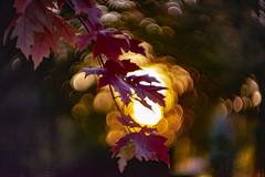sunny backlight (mariola aga) Tags: autumn branch leaves sun sunset bokeh helios manual helios40285mmf15
