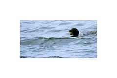 DOG AND TENNIS BALL (Maarten Kleijkamp) Tags: dog hond zwemmen swimming tennisball tennisbal groen green meer lake spelen playing golven waves