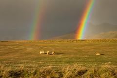 Double Rainbow and Sheep - Southeast Iceland (JohnColeUSA) Tags: iceland rainbow doublerainbow sheep landscape animal field peaceful light softlight eveninglight grass farm sky scenic scandinavia nordic