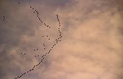 Bon vol à toutes ces grues. (Crilion43) Tags: région véreaux vol divers grues centre cher nuages ciel animaux paysages villes