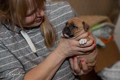 C00A9933.jpg (pka78-2) Tags: pentu rölli puppy röllivuoren staffie hulda staffi staffodshirebullterrier hpentue pennut