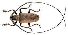 Thestus philippensis (Schwarzer, 1929)  Male (urjsa) Tags: coleoptera kaefer beetle insect cerambycidae thestus philippensis thestusphilippensis philippinen philippines mindanao suedostasien southeastasia taxonomy:binomial=thestusphilippensis taxonomy:family=cerambycidae taxonomy:genus=thestus taxonomy:species=philippensis geo:country=philippines taxonomy:order=coleoptera coleopteraus
