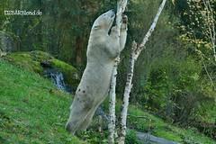 Giovanna - Quintana - Eisbären - TP Hellabrunn München (ElaNuernberg) Tags: eisbärgiovanna eisbärquintana tierparkhellabrunn zoo zootiere zooanimals munichzoo eisbär polarbear ourspolaire orsopolare ijsbeer isbjorn jääkaru niedźwiedźpolarny ursusmaritimus