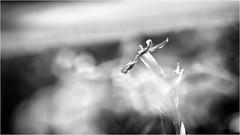 Time ist almost over... (Ody on the mount) Tags: abendlicht abstrakt anlässe blumen em5ii fototour licht mzuiko6028 makro nahaufnahme omd olympus schwäbischealb abstract bw closeup flowers macro monochrome sw