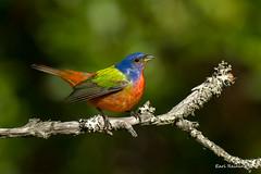Vanity (Earl Reinink) Tags: color colorfull paint painted paintedbunting song songbird woods forest branch earl reinink earlreinink adrahuodza bird tree macro