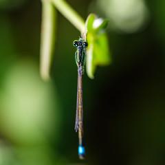 GSCF8288 (Deepak Kaw) Tags: macro insect damselfly nature bokeh beautiful composition colours fujifilm