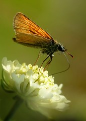 (Kaska Ppp) Tags: macro macrophotography macromonday macromondays butterfly insect flower flowers nature naturephotography natura meadow