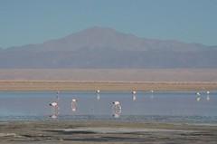 2017-11-09_0737_DSC_0706 (becklectic) Tags: 2017 atacamadesert atacamasaltflat birds chile flamingoes lagunachaxa lake piedrasrojastour regióndeantofagasta reservanacionallosflamencos salardeatacama sanpedrodeatacama flamingo flamingos