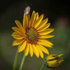 Fleur de topinambour (bernarddelefosse) Tags: topinambour fleur insecte proxi