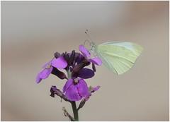 Small White (jenny*jones) Tags: smallwhite pierisrapae whitebutterfly westyorkshire gtbritain aug2018 canon70d canon180mm35macro naturephotography naturalworld lepidoptera pieridae erysimum