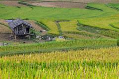 _J5K2724.0918.Lìm Mông.Cao Phạ.Mù Cang Chải.Yên Bái. (hoanglongphoto) Tags: asia asian vietnam landscape scenery vietnamlandscape vietnamscenery vietnamscene terraces terracedfields harvest seasonharvest house canon canoneos1dsmarkiii tâybắc yênbái mùcangchải caophạ lìmmông thunglũnglìmmông ruộngbậcthang lúachín mùagặt ruộngbậcthangmùcangchải mùcangchảimùagặt mùcangchảimùalúachín ngôinhà canonef200mmf28liiusm