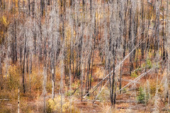 'Anew' (Canadapt) Tags: forest trees burnt fire brush newgrowth autumn fall nwt canadapt