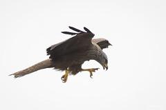 DSC_5154 (P2 New) Tags: 2018 accipitridae accipitriformes animaux date espagne extremadura mai milannoir oiseaux pays