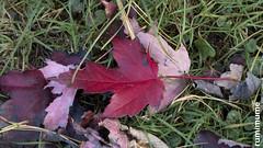 Autumn Leaves (rumimume) Tags: potd rumimume 2017 niagara ontario canada photo canon 80d sigma fall autumn outdoor leaf colour day grass red 2018