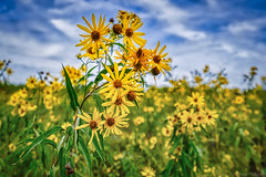 Flowers In The Field (Stuart Schaefer Photography) Tags: landscape flowers kansas park sky outdoors outdoor sunflower shawneemissionpark sonya7m3 clouds flower bright