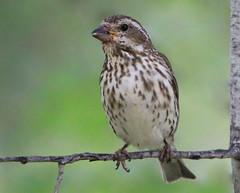 Roselin (Marie-Helene Levesque) Tags: oiseau abitibi valdor loft côtede100pieds roselin mariehélène mariehelene