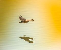 Going South. (Omygodtom) Tags: wildlife bokeh bird goose golden shadow nature natural trip nikon70300mmvrlens d7100 existinglight exotic usgs explorer